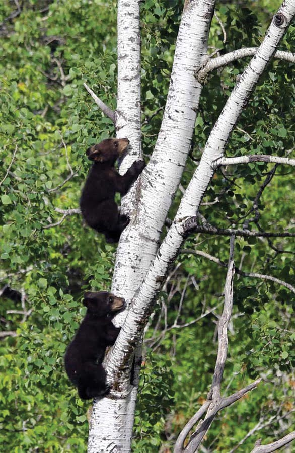 Observation d'ours noirs