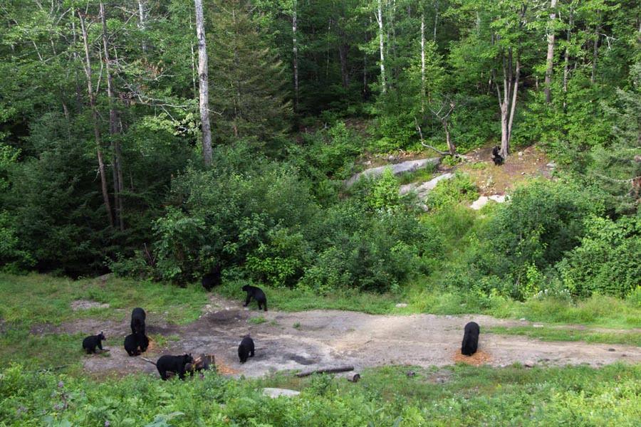 Observation d'ours en nature