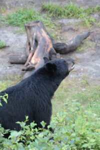 Black bear observation